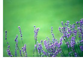 o_lavender